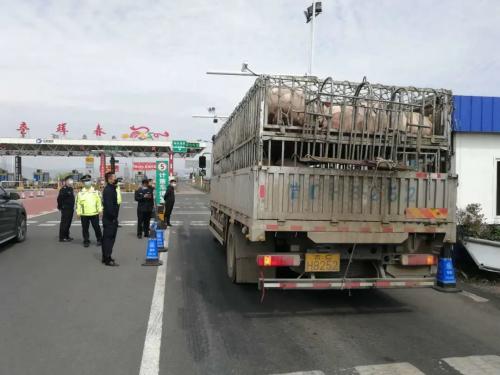 吉林高速公安拦截未检疫生猪车辆,检疫部门依法查扣该车