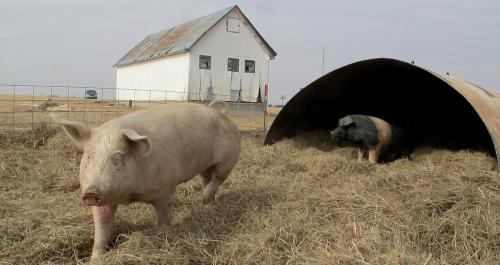 猪也不是什么人都能养的,房企进军农牧业难走通