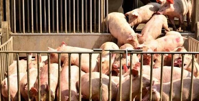 生猪应激会产生什么后果?需要怎么去解决?
