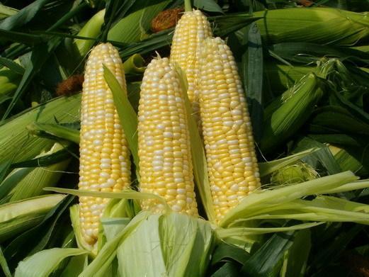 拍卖即将落地 玉米或迎拐点