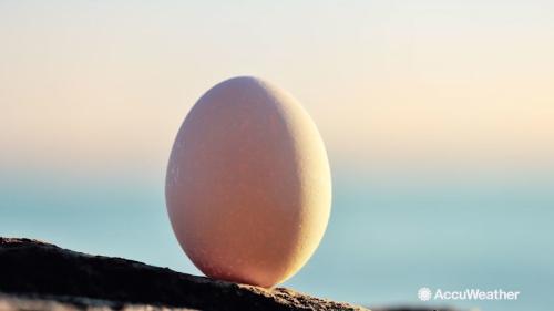 鸡蛋在养猪中的妙用,小鸡蛋解决猪场大问题