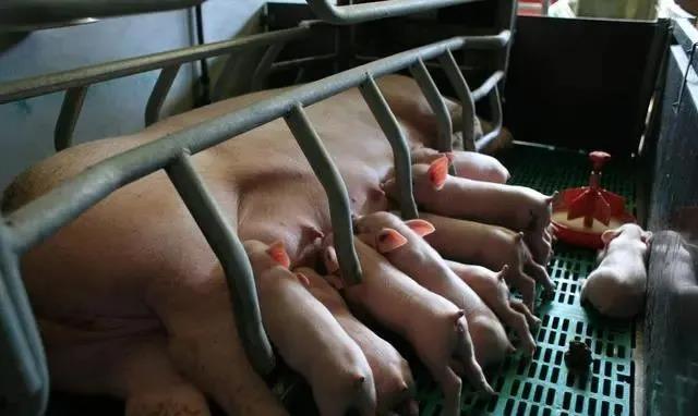 一文看懂猪肉涨价的背后逻辑,最赚钱的3个月要来了!