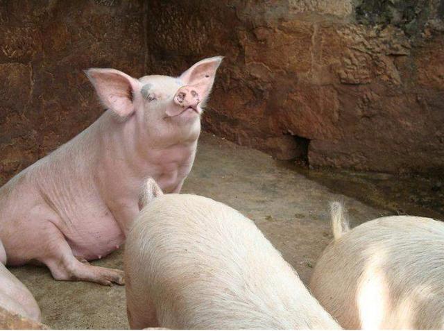 生猪产能恢复路漫漫 猪价深跌空间有限