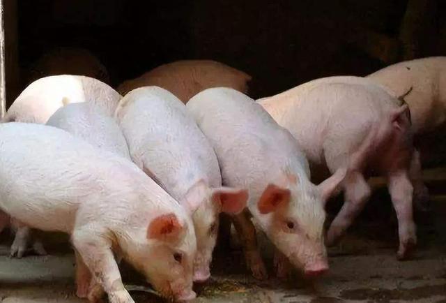 天邦股份谈猪价:五六月可能是淡季,后面应该还会反弹