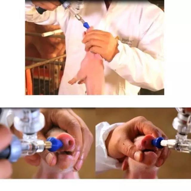 猪伪狂犬病疫苗滴鼻免疫的优点及注意事项