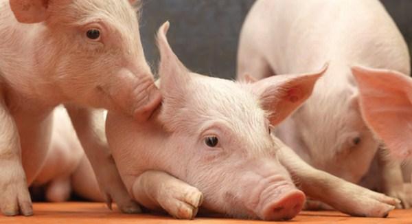 预防非洲猪瘟的生物安全解决方案:对猪舍进行清洁和消毒