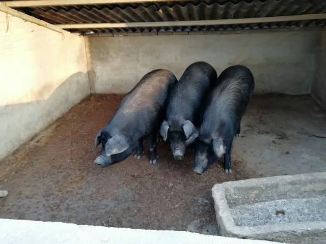 混合感染对猪场经济效益影响极大,养殖户要做好管理