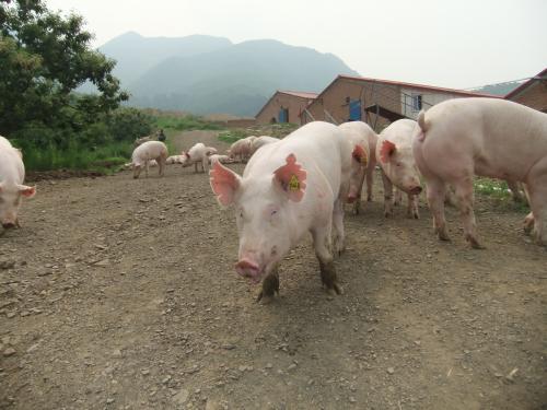 5月17日全国各地区种猪价格报价表,种母猪价格基本维持在平衡状态