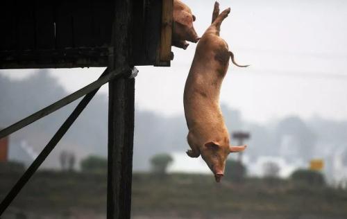 """猪价""""跳水"""",黑龙江猪价暴跌至10元!养猪户无法淡定了..."""