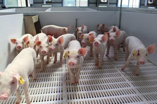 销售收入1600万元,雁塔区扶持马召镇建2座万头养猪场