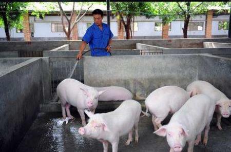 猪肉价格怎么了?且听养猪大户们细细道来!