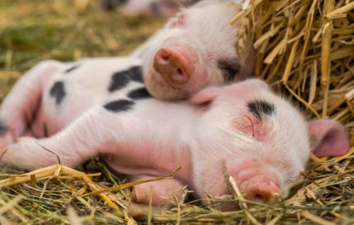 仔猪卖到成猪价,散户养殖需警惕