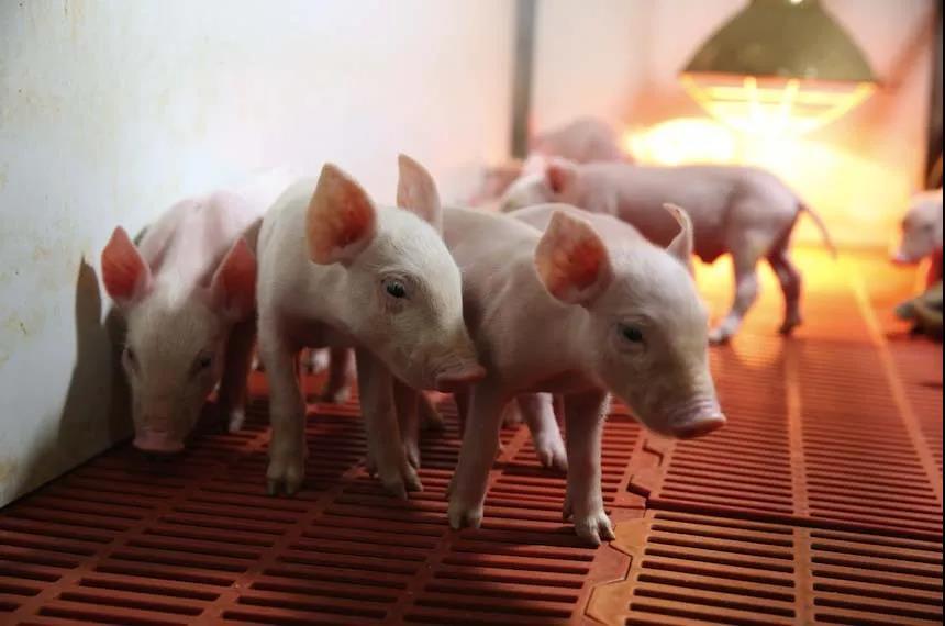 数看养猪业:一季度养猪盈利2654元/头,4月白条猪肉出厂均价环比跌8.4%