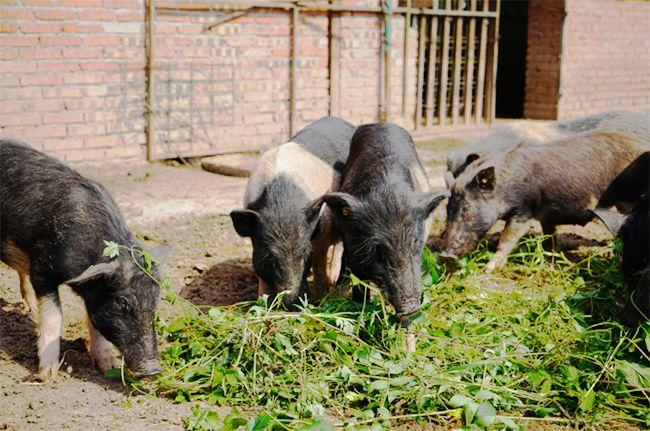 猪肠道疾病方剂使用临床经验五则,大大降低了养殖成本!