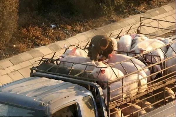 卖猪便宜吃肉贵的尴尬,前脚卖猪13块,后脚买肉26块,差价谁赚了?!