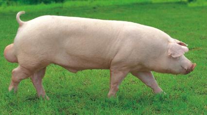 5月20日全国各地区种猪价格报价表,各地种猪价格皆有所小幅上调!