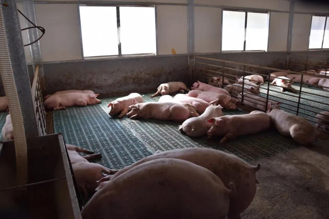"""章红兵:限抗使猪场回归""""养""""猪,提高饲养水平、护养水平!"""