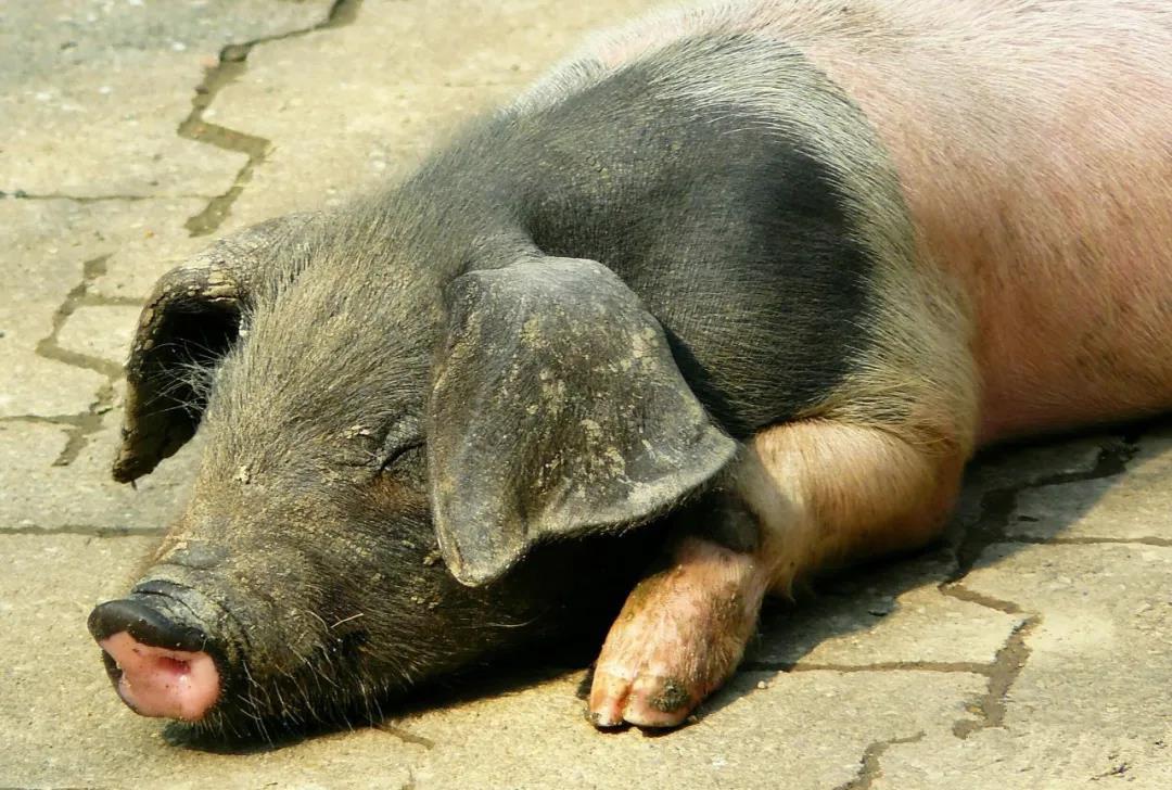 猪场管理漏洞