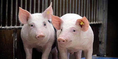 河南开封一季度超额完成全年生猪产能恢复目标