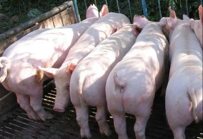 猪价跌涨看东北