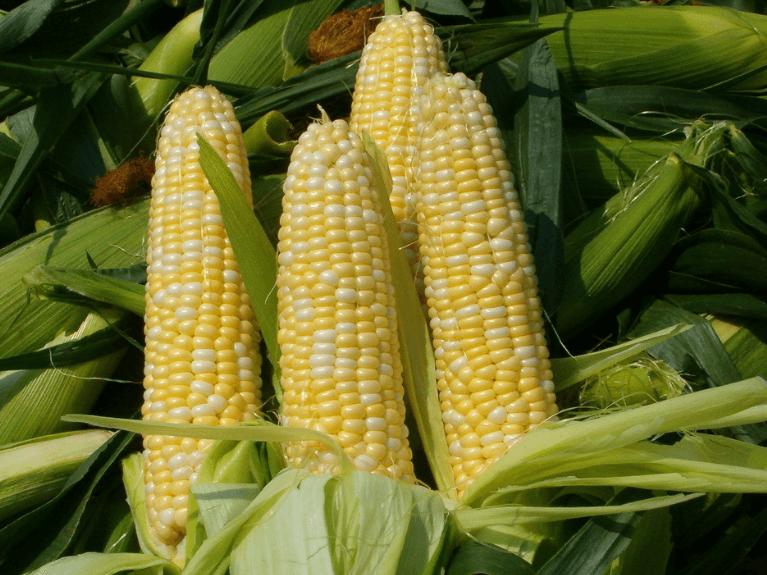 5月23日全国玉米价格行情表,整体继续微幅上涨,局部保持稳定!