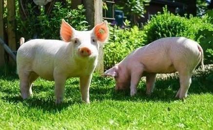 江苏泰兴:高频高位抓好生猪稳产保供工作