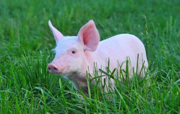 """""""恢复生猪生产""""成两会农业热点,猪周期拐点要来了吗?"""