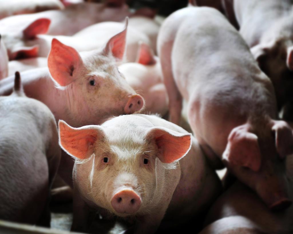 5000头!汇川区山盆镇万头生猪养殖场入栏第一批仔猪
