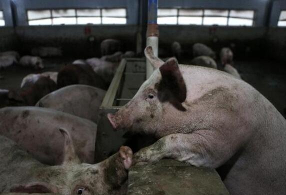 5月26日全国生猪价格内三元报价表,整体以上涨为主,东北猪价有所回涨!