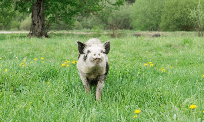 事在人为,更在人心:如何赚更多?如何高效养猪?如何打造育肥猪的5A级标准?