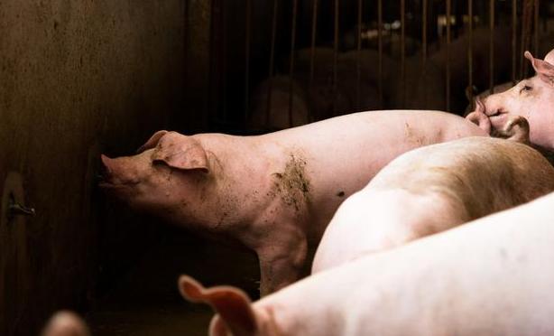 5月27日全国生猪价格内三元报价表,东北2涨1跌,后期猪价会继续上涨吗?