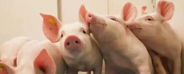 """还是缺猪!仔猪卖到成猪价 14家企业狂砸245亿元""""抢""""猪"""