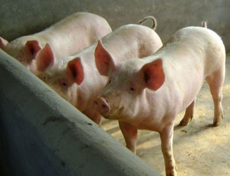 """贵州万潮镇:""""筑巢引凤""""发展生猪养殖产业"""