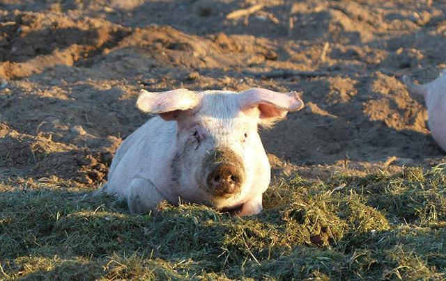 5月30日全国生猪价格土杂猪报价表,月底猪价大反转,继续以上涨为主!