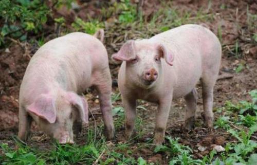 5月31日全国生猪价格土杂猪报价表,继续反弹上调,西南土杂猪价格略有下跌