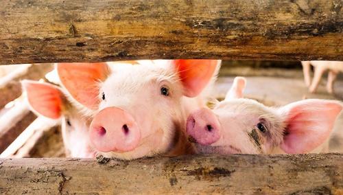 5月自繁自养每头盈利1500元左右,屠宰量下降64%,6月猪价还要跌?