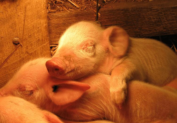 6月1日全国各省市10公斤仔猪价格报价表,四个省市仔猪价格持续高于2000元/头!