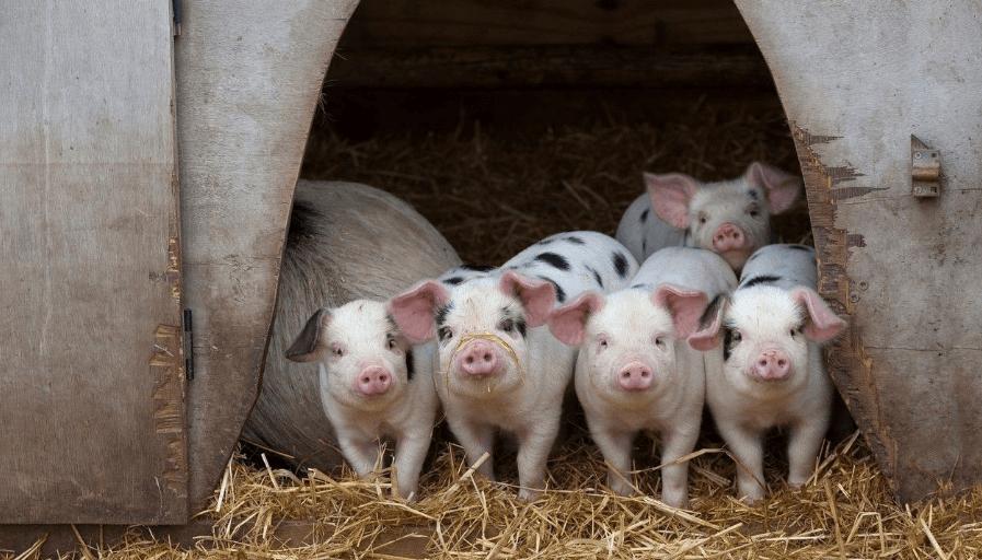 6月2日全国各省市20公斤仔猪价格报价表,仔猪价格有所回涨,广东仔猪价格持续领先全国!