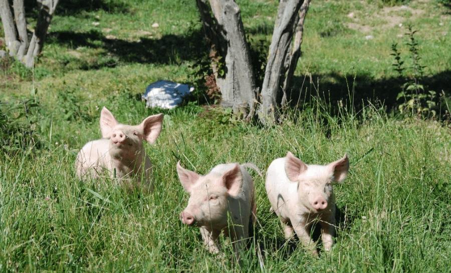 6月2日全国各省市10公斤仔猪价格报价表,仔猪价格大跳水,广东地区仔猪价格有所下跌!
