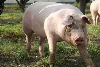 由于猪痢疾激增,英国的减抗进程在延缓