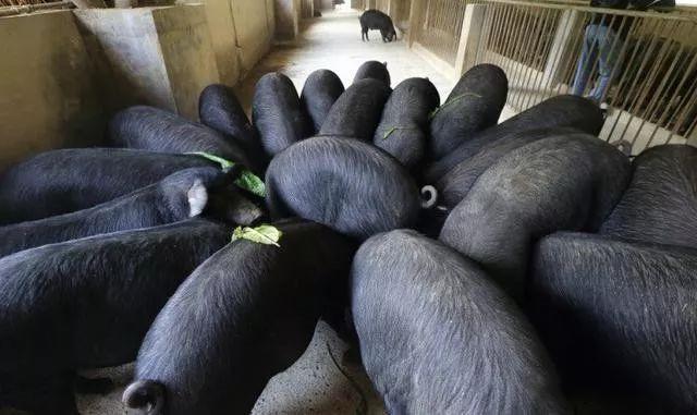 谈起养猪催肥,从来没有服过谁!分享几个养猪催肥小窍门