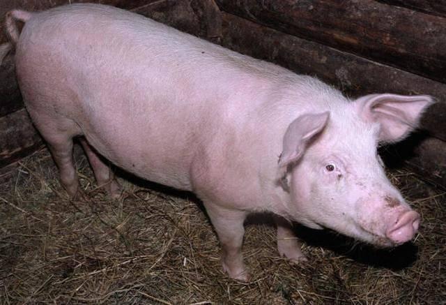 6月4日全国各地区种猪价格报价表,河南长葛种猪价格有所回涨!