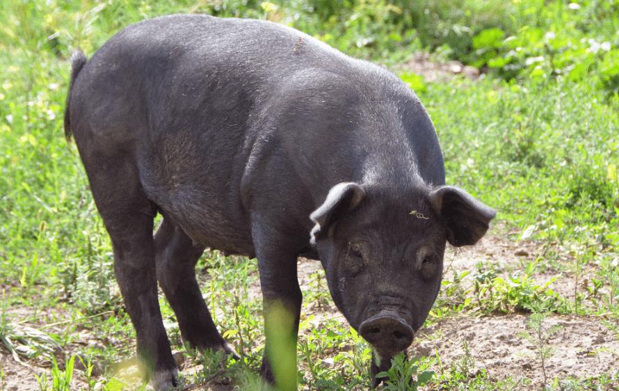 6月4日全国生猪价格外三元报价表,又涨了,上涨幅度有明显的扩大!