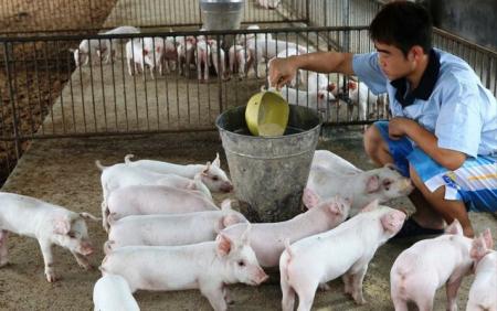 养殖户一定要知道的事情:生猪分群并群分5点!