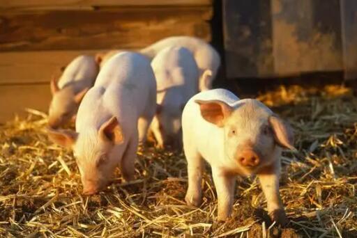 报告:今年全国粮食产量预计6.7亿吨 猪瘟对生猪养殖影响趋弱