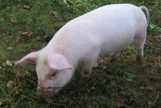 年底猪价或遭遇滑铁卢?全国生猪存栏已恢复至2017年的74%