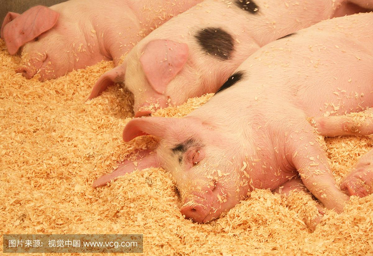 """母猪便秘、厌食?如何该如何做才能抓住""""七寸""""?!"""