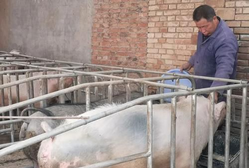 6月6日全国各地区种猪价格报价表,均价持稳,山东种猪价格高价保持在一万元/头!