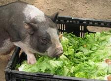 6月6日全国各省市20公斤仔猪价格报价表,继续保持回调,内蒙古均价为2000元/头!