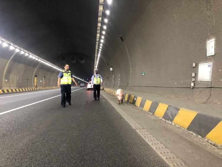 山东:生猪逃离运输车 隧道内上演抓猪记